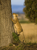 African Lion Climbing a Tree (Panthera Leo), Masai Mara, Kenya Photographic Print by Joe McDonald