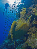 Hawksbill Sea Turtle (Eretmochelys Imbricata) on Reef Photographic Print by Louise Murray
