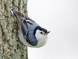White-Breasted Nuthatch (Sitta Carolinensis), Ontario, Canada Reproduction photographique par Arthur Morris