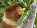 Proboscis Monkey Male Eating Leaves (Nasalis Larvatus), Sabah, Borneo, Malaysia Photographic Print by Thomas Marent