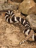 California Kingsnake Lampropeltis Getula Californiae) Eating a Rattlesnake (Crotalus), California Photographic Print by Joe McDonald