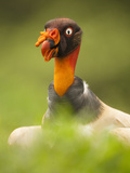 King Vulture Head (Sarcoramphus Papa), Costa Rica Photographie par Mary Ann McDonald