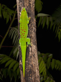 Giant Day Gecko (Phelsuma Madagascariensis), Madagascar, Captivity Photographic Print by Joe McDonald