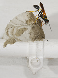 A Mud Dauber Wasp (Sceliphron Caementarium) Building its Nest on a House Water Pipe Photographic Print by Fabio Pupin