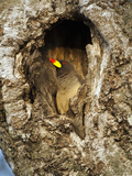 Yellow-Billed Oxpecker (Buphagus Africanus) in Nest in Tree, Masai Mara Game Reserve, Kenya, Africa Photographic Print by Mary Ann McDonald