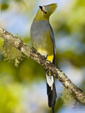 Long-Tailed Silky-Flycatcher (Ptilogonys Caudatus), Central America Reproduction photographique par Joe McDonald