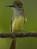 Great Crested Flycatcher, Myiarchus Crinitus, North America Photographie par Joe McDonald