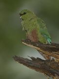 Austral Parakeet, Enicognathus Ferrugineus, South America Photographic Print by Joe McDonald