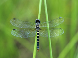 Female Elfin Skimmer Dragonfly (Nannothemis Bella), Ohio, USA Photographic Print by Gary Meszaros