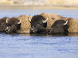 American Bison (Bison Bison) Crossing a River, Yellowstone National Park, USA Photographic Print by Mary Ann McDonald