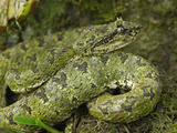 Eyelash Pit Viper with Green Coloration (Bothriechis Schlegelii), Cahuita National Park, Costa Rica Photographie par Thomas Marent