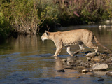 Female Lion (Panthera Leo) Crossing Stream in the Masai Mara Game Reserve, Kenya Photographic Print by Joe McDonald