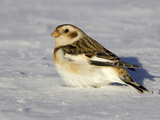 Snow Bunting (Plectrophenax Nivalis) in Snow, Maine, USA Photographic Print by Garth McElroy