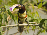 Chestnut-Eared Aracari (Pteroglossus Castanotis) Plucking and Eating Morning Glory Flower, Pantanal Photographic Print by Joe McDonald