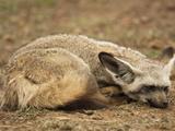 Bat-Eared Fox Resting (Otocyon Megalotis), Masai Mara, Kenya Photographic Print by Mary Ann McDonald