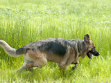 K9 Unit German Shepherd Dog Trained as a Cadaver or Corpse Dog Photographic Print by Louise Murray