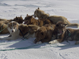 Husky Dog Team Resting, Qaanaaq Greenland Photographic Print by Louise Murray