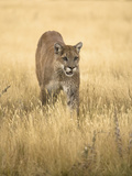Puma (Puma Concolor) Walking Through Field in Montana, USA Photographic Print by Joe McDonald