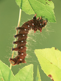 Oslar's Eacles Moth Larva or Caterpillar (Eacles Oslari) Eating a Leaf, Family Saturniidae, Arizona Photographic Print by Leroy Simon