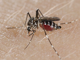 A Tiger Mosquito Feeding on Human Blood (Aedes Albopictus) Photographic Print by Fabio Pupin