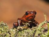 Strawberry Poison-Dart Frog (Dendrobates Pumilio), Sarapiqui, Costa Rica Photographic Print by Mary Ann McDonald