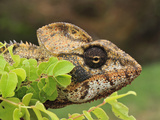 Giant Madagascar or Oustalet's Chameleon Male Head (Furcifer Oustaleti) Photographic Print by Thomas Marent