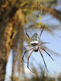 The Giant Spider (Nephila Sumptuosa) in Web, Socotra, Yemen Photographic Print by Fabio Pupin
