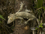 Leaf-Tailed Gecko (Uroplatus Fimbriatus) Photographic Print by Joe McDonald