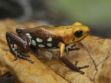 Poison Frog (Ranitomeya), Depart, Cundinamarca, Colombia Photographic Print by Thomas Marent