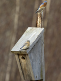 Pair of Eastern Bluebirds (Sialia Sialis) on Nest Box, Maine, USA Photographic Print by Garth McElroy