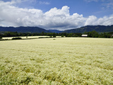 Fields of White Meadowfoam (Limnanthes Alba) Photographic Print by Robert & Jean Pollock