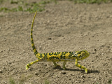 Flap-Necked Chameleon Walking (Chamaeleo Dilepis), Southern Africa Photographic Print by Joe McDonald