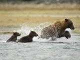Brown Bear Adult and Young (Ursus Arctos) in Katmai Np Fishing for Salmon in Fall Photographic Print by Joe McDonald