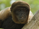 Woolly Monkey Face (Lagothrix Lagotricha), Amacayacu National Park, Colombia Photographic Print by Thomas Marent