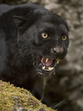 Leopard or Black Panther (Panthera Pardus) Impresso fotogrfica por Joe McDonald