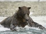 Brown Bear (Ursus Arctos) in Katmai Np Running in a Stream Fishing for Pink Salmon Photographic Print by Joe McDonald