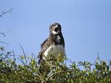 Southern Banded Snake Eagle (Circaetus Fasciolatus) Calling, Masai Mara Game Reserve, Kenya, Africa Photographic Print by Joe McDonald