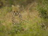 Serval (Felis Serval), Masai Mara, Kenya Photographic Print by Joe McDonald