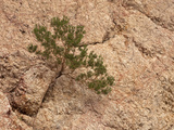Juniper Growing from a Crack in a Dolomite Rock, Mojave Desert, California, USA Photographic Print by Marli Miller