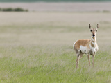Pronghorn on the Short-Grass Prairie, Antilocapra Americana Photographic Print by Arthur Morris