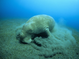 Dugong (Dugong Dugon) Feeding on Sea Grass Photographic Print by Louise Murray