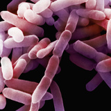 Enterobacter Is Highly Motile Bacteria and Although it Is Part of the Normal Flora Photographic Print by David Phillips
