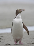 Yellow-Eyed Penguin (Megadyptes Antipodes), New Zealand Photographic Print by Richard Roscoe