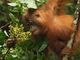 Borneo Orangutan Eating Fruits (Pongo Pygmaeus) Tanjung Puting National Park, Kalimantan Photographic Print by Thomas Marent