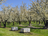 Commercial Bee Hives Placed in a Cherry Orchard in the Spring, Southwest Oregon, USA Photographic Print by Robert & Jean Pollock