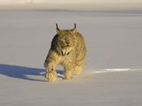 Eurasian Lynx (Lynx Lynx) Walking in the Snow Photographic Print by Jack Milchanowski