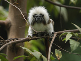 Cottontop or Pinche Tamarin (Saguinus Oedipus), Northern Colombia Photographic Print by Thomas Marent