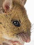 Wood Mouse (Apodemus Sylvaticus), Europe Photographic Print by Denis Palanque