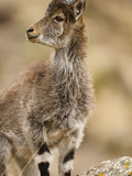 Walia Ibex Head (Capra Walie), Simien Mountains National Park, Ethiopia Papier Photo par Mary Ann McDonald