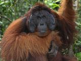 Male Borneo Orangutan Face (Pongo Pygmaeus), Camp Leaky, Tanjung Puting National Park, Kalimantan Photographic Print by Thomas Marent